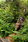 Ekotourism with Elephants in forest Gunung Leuser NP Sumatra (Asian elephant)