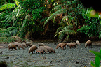 Babirusa herd at Adudu salt lick Nantu WR North Sulawesi (Babirusa)