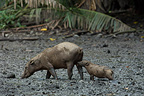 Babirusa female and young at Adudu salt lick Sulawesi (Babirusa)