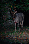 Young male Sambar Deer at night near water hole Sumatra (Sambar deer)