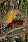 Greater Bird of Paradise displaying on branch Western Papua (Greater Bird-of-paradise)