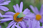 Common Forester on flower of Alpine Aster Cevennes (Forester Butterfly)