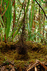 Macgregor's Bowerbird bower in moss forest. Papua New Guinea (Macgregor's Bowerbird)