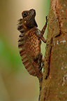 Giant forest Dragon hiding immobile on tree trunk Sumatra (Giant Forest Dragon )
