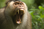 Pigtail Macaque opening mouth as a sign of defience Sumatra (Pigtail macaque)