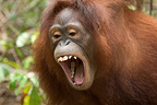 Southern Bornean Orangutan opening mouth during play (Orangutan)