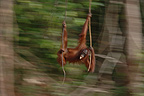 Orangutan subadult with leave in its mouth swinging on liana (Orangutan)