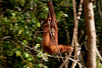 Orangutan subadult smiling and swinging on liana Borneo (Orangutan)