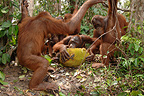 Orangutan subadults eating jackfruit Central Borneo (Orangutan)