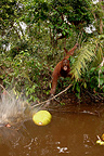 Orangutan trying to get a floating jackfruit with a stick (Orangutan)