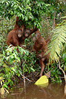 Orangutans taking floating jackfruit from river Borneo (Orangutan)