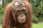 Orangutan with head covered with mud after fishing Borneo (Orangutan)