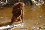Orangutan using hand to drink water from river Borneo (Orangutan)