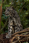 Sunda Clouded Leopard peat swamp forest Central Borneo (Bornean Clouded Leopard)