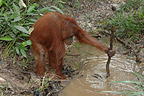 Orangutan catching fish from dry river during dry season (Orangutan)