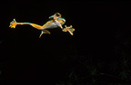 Reinwardt's Tree Frog gliding at night toward a banana leaf, Indonesia (Java Flying Frog)