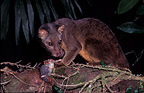 Sulawesi Palm Civet eating white tail rat Lore Lindu NP (Sulawesi Palm Civet)