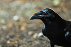 Portrait of Raven on ground Bayerischer Wald� (Raven)