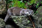 European otter on a rock Bayerischer Wald Germany (European otter)