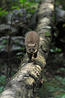 Pine marten on a tree trunk lying Bayerischer Wald Germany (European pine marten )