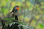 European Robin on a strain Bayerischer Wald�Germany (European Robin)