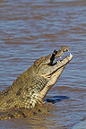 Crocodile eating a young Zebra in the river Mara (Nile Crocodile; Burchell's zebra )