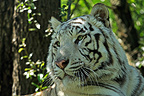 Portrait of White Tiger (Bengal tiger)