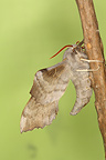 Aspen Hawk-moth hanging from a rod Belgium