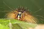 Gypsy moth caterpillar on a leaf Belgique