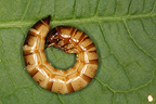 Larva of darkling beetle in summer in Belgium