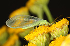 Lacewing laid on yellow flowers in summer Belgium