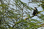 Guereza resting on a tree in the Nakuru NP Kenya (Black and White Colobus)