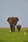 Elephant and calf walking in the bare savanna Kenya (African elephant)