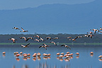 Group of Lesser Flamingos in flight over water Kenya (Lesser Flamingo)