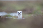 Ermine in winter in the Jura Mountains France (Ermine)