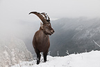 Young male Alpine Ibex in winter France (Ibex)