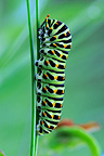 Old world Swallowtail caterpillar in Prairies Fouzon France