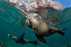 Young Californian Sea Lion Sea of Cortez Mexico (California sea lions)