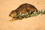 European beaver dragging a branch of the Loire Valley France (European beaver)