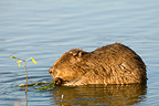 European beaver on water of the Loire Valley France (European beaver)