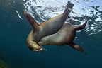 Californian Sea Lions playing in the Sea of Cortez Mexico (California sea lions)