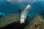Californian Sea Lion in Sea of Cortez Mexico (California sea lions)