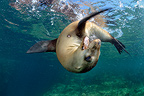 Young Californian Sea Lion playing in Sea of Cortez Mexico (California sea lions)