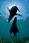 Californian Sea Lions adults in Sea of Cortez Mexico (California sea lions)