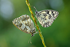 Marbled White butterflies in the Prairies Fouzon�