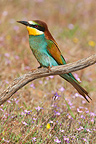 European Bee-eater near its nest in breeding season (European Bee-eater)