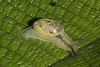 Amphibulima snail on a leaf Bellevue Martinique