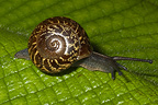 Pleurodonte Snail on leaf Bellevue Martinique�