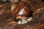Pleurodonte Snail on dead leaf Bellevue Martinique�