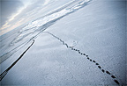 Polar Bear tracks on the ice Amundsen Gulf Canada (Polar bear)
